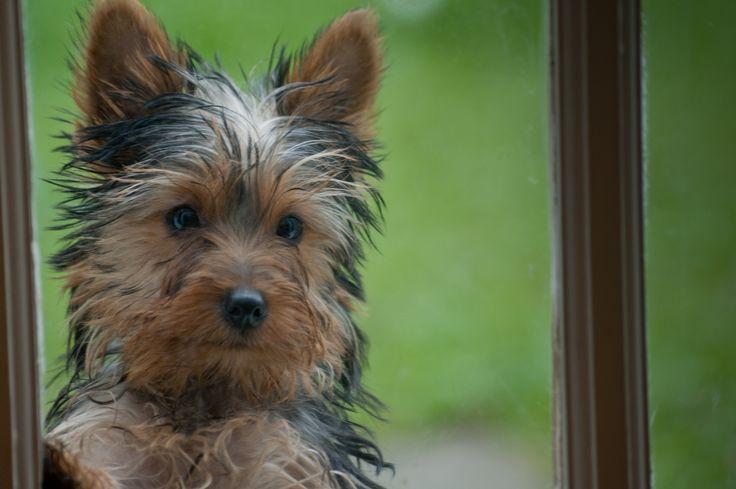 Yorkie puppy Tara