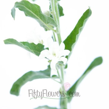 Tweedia Flower White also known as Oxypetalum caeruleum found also in blue and turquoise