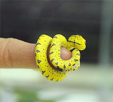 morelia viridis (http://www.pinterest.com/hpcustoms30m/green-tree-python-enclosures/green tree python)