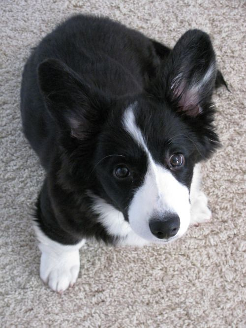 Cardigan Corgi featured on OCD: Obsessive Corgi Disorder Tumblr- Looks like a baby Kutter!  Cardigans are the best.