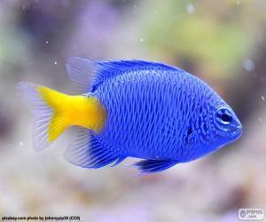 Pez payaso azul / Clownfish blue