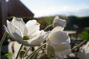 Anemone du japon, Anemone japonica