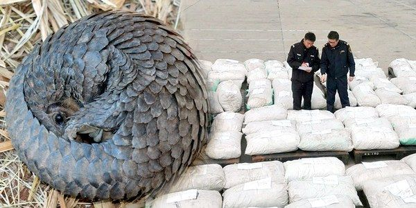 China Seizes Massive Amount of Pangolin Scales in Biggest-Ever Smuggling Case - Some 5,000 to 7,500 wild pangolins are estimated to have been killed for these scales, officials told ShanghaiDaily.com.