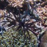 Black Lionfish at Tubbataha
