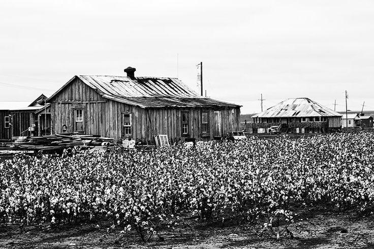 Cotton Fields Near Clarksdale, Mississippi (A0012542)