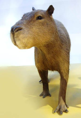 Capybara: people can have them as pets! i want one..its a large rodent:)