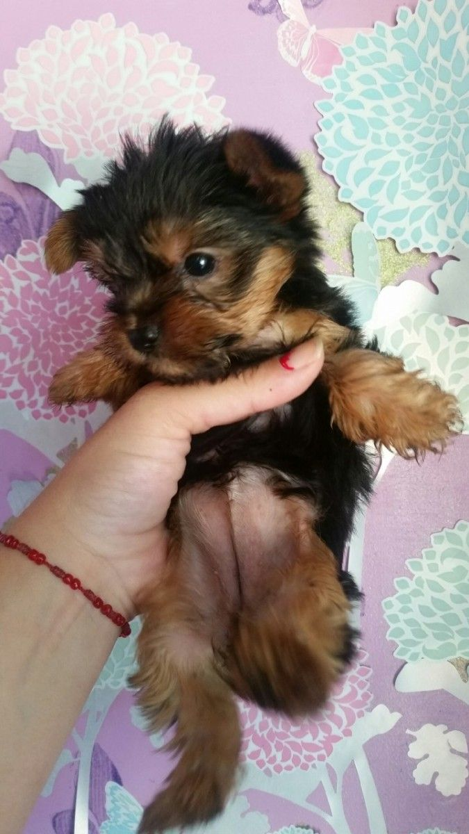 Yorkshire Terrier Puppies For Sale San Jose Ca Yorkie Puppy For Sale Yorkshire Terrier Puppies Puppies For Sale