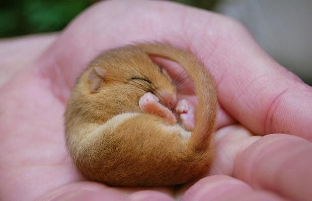 A dormouse snoozes through a census of dormice populations in woodland at Fyne Court, Somerset