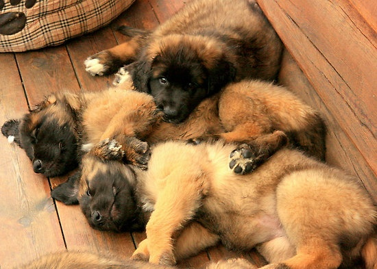 Pile Of Pups by AmyKippernes