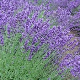 Best Cat Repellent Plants -- HubPages  ~thinking of trying some potted lavender or rosemary on the dining room table...