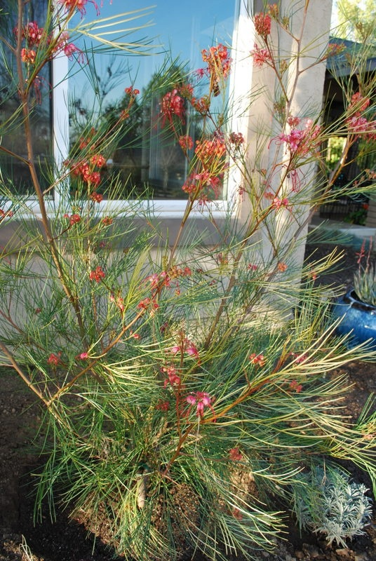 Grevillea 'Long John' - This pine-like shrub is native to Australia. It blooms heavily in Spring and occassionally through the summer. Its flowers attract hummingbirds, and it makes a good screening plant for windows. It can grow 8-10 feet tall and 5-8 feet wide.