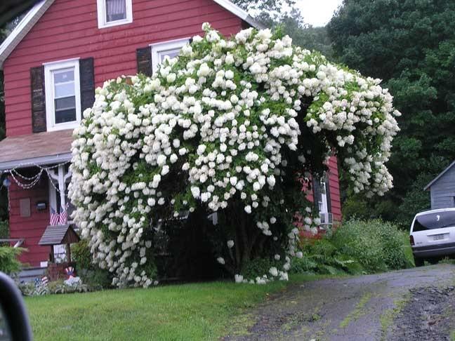 best pee gee hydrangea ideas on   hydrangea tree, Beautiful flower