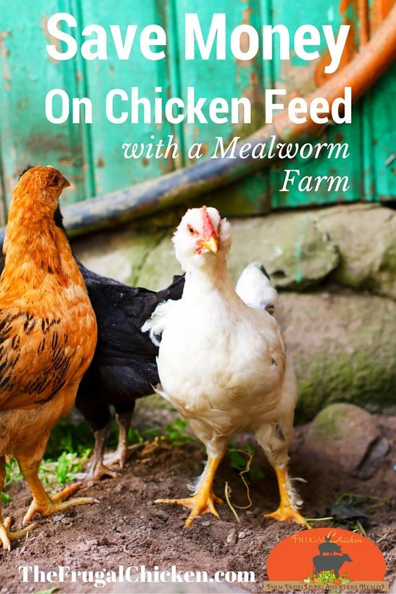 Raise Mealworms, Red Wrigglers, U0026 Crickets (And Save Money) [Podcast]