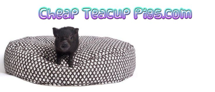 Best 25+ Teacup piglets ideas on Pinterest | Baby piglets ...