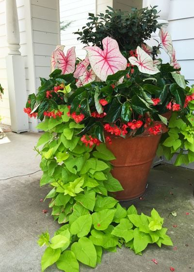 "Sweet potato vine in chartreuse makes a dramatic ""spiller"" in a summer container garden with begonias and caladiums. Get more favorite spillers at The Home Depot's Garden Club."