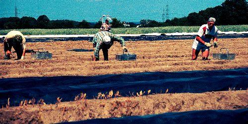 #49 Pracownik przy zbiorach. Ciężka fizyczna praca na powietrzu. Jak wygląda od kuchni? Czytaj: http://www.careego.pl/3464/pracownik-zbiorach-robi-zarabia/