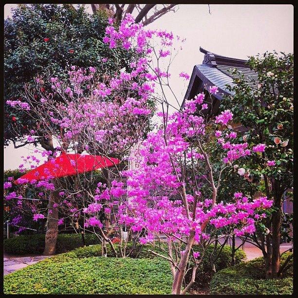 Sakura in Hadedera Shrine