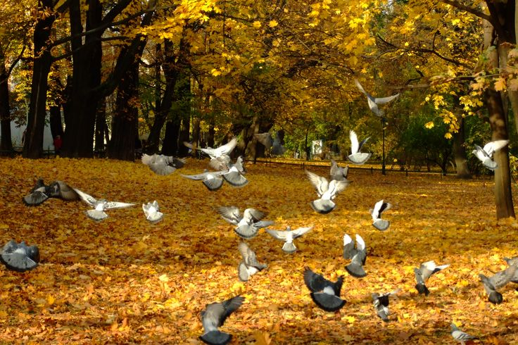 Planty, Kraków, Poland.   #pigeons #autumn #fall #colorful #leaves