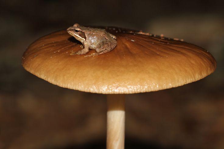 Grenouille rousse sur champignon