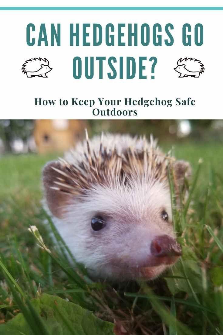 Can Hedgehogs Go Outside How To Keep Your Hedgehog Safe Outdoors Hedgehog Advice In 2020 Hedgehog Pet Hedgehog Habitat Hedgehog Care