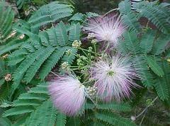 Albizia julibrissin - mimosa