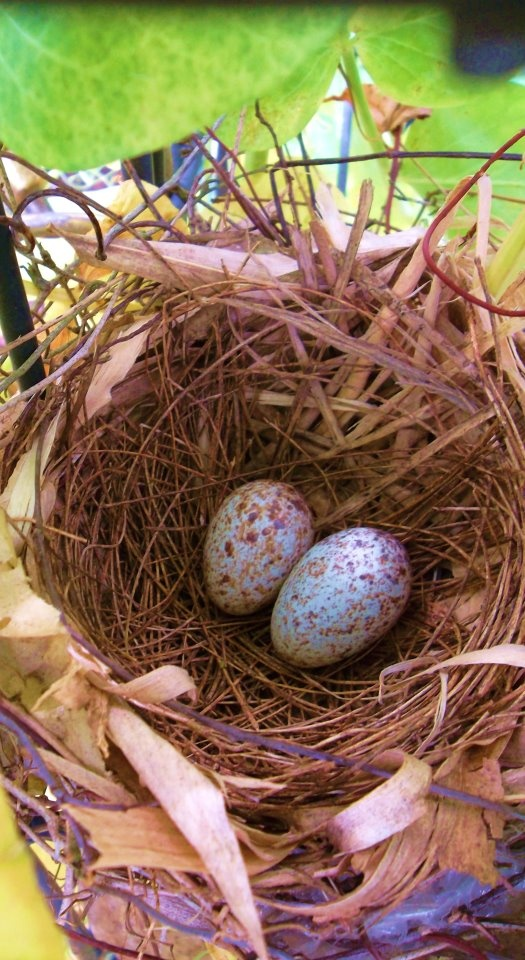 The Story of Robin Eggs - journeynorth.org