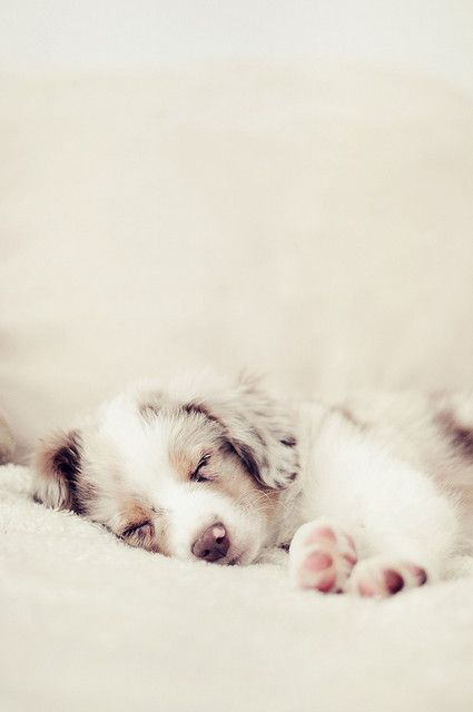 australian shepherd puppy...gah!! so. darn. cute.