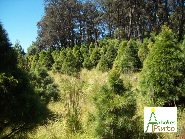en arboles pinto somos productores de arboles de navidad naturales organicos y sutentables desde m y hasta m de altura para la venta du