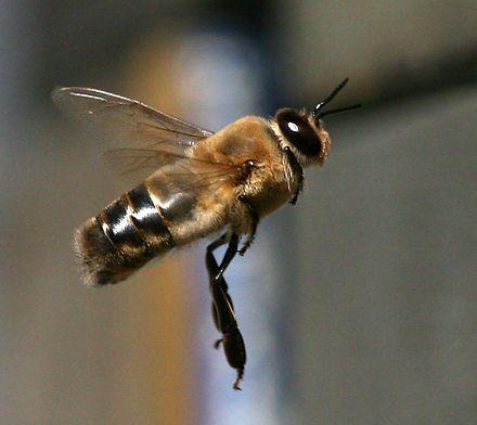 Drone (bee) - Wikipedia, the free encyclopedia