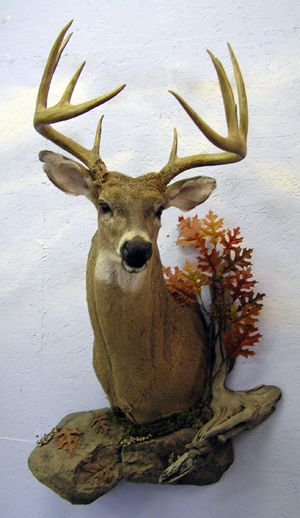 White Tail Buck Shoulder Mount With Scenery Deer