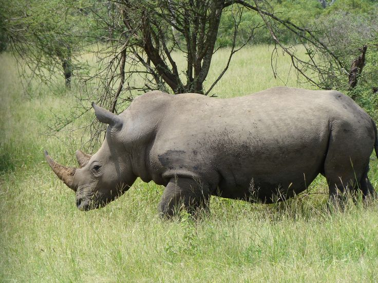 The White rhino have right of way