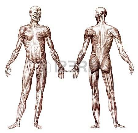 Gravure ancienne du syst me musculaire anatomie humaine Banque d'images