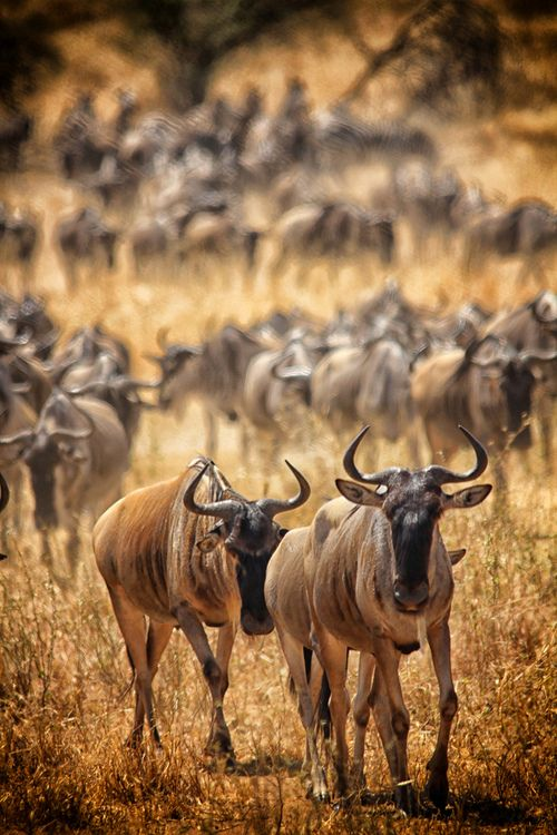 ❤ Wildebeest. What are they really? A strong gazelle, or a skinny buffalo? The world may never know...