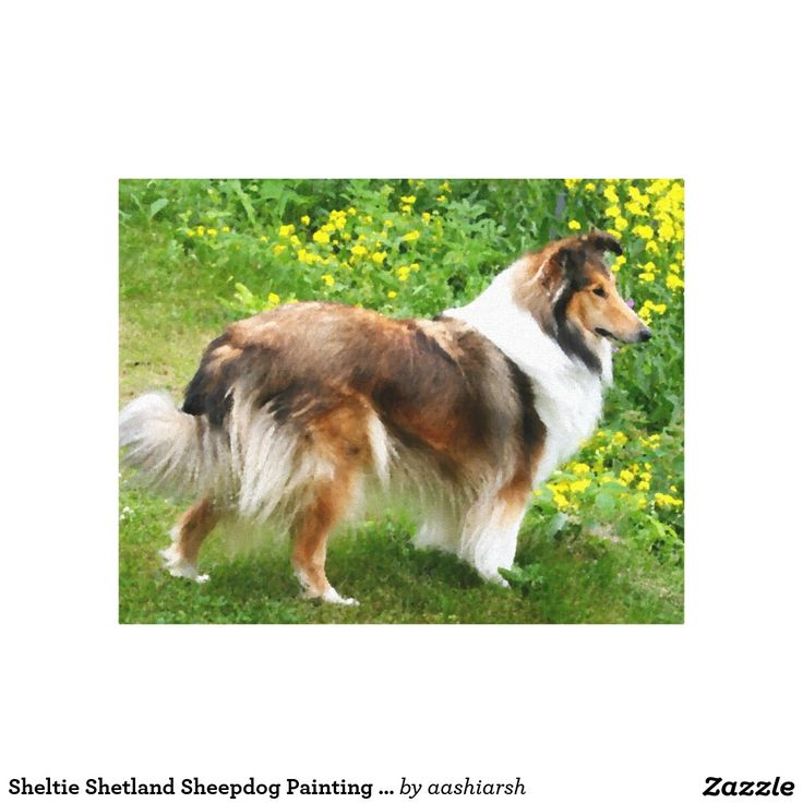#Sheltie #Shetland #Sheepdog #Painting #Canvas Canvas Print #art #wall #home #decor #dog #pet #doglover