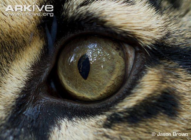 leopard eyes | Clouded leopard (Neofelis nebulosa)