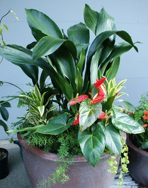 Shade container with Aspidistra aka Cast Iron Plant, Anthurium, Dracaena Gold Star, Asparagus fern, and Lysimachia nummularia Aurea (Golden creeping Jenny)