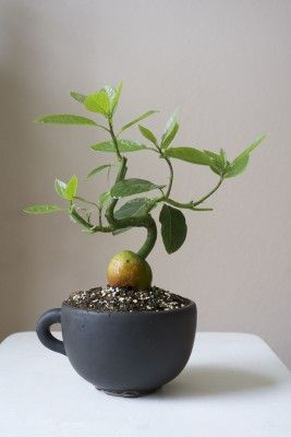Avocado bonsai. Impossible? I don't think so. ;)