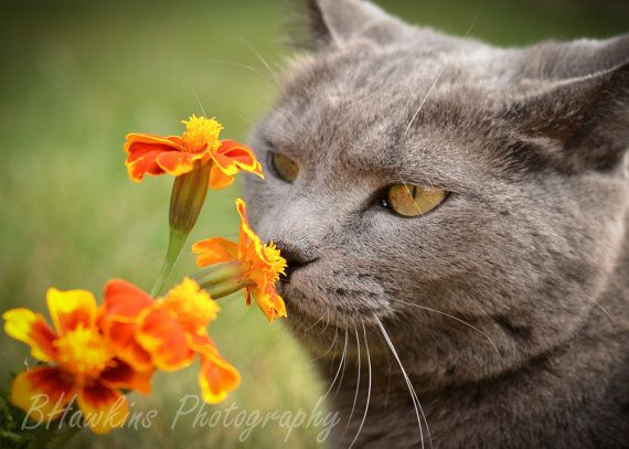 17 Best Images About Cats Smelling Flowers On Pinterest