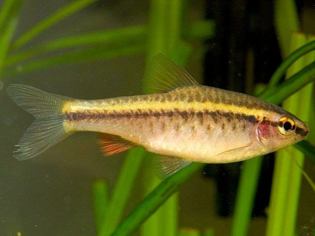 17 best images about minnows on pinterest neon cherries for Cherry barb fish