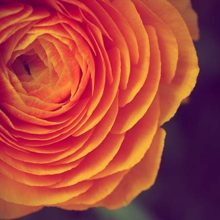Orange flower photo AmellaKayPhotography ETSY: Orange Flower, Amellakayphotographi Etsy, Flower Ranunculus, Art Flower, Flower Photo, Amellakayphotographi Color, Tangerin Flower, Amellakayphotographi Flower, Photo Amellakayphotographi