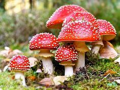 """The Amanita muscaria is the most known mushroom visually but most know little about it. A little commentary would be helpful for most. It is a hallucinogenic mushroom, well known from *Alice In Wonderland* and the Jefferson Airplane's Grace Slick: a pill to make you tall and another to make you small. The hallucinogenic alkaloids of this mushroom are not dangerous, but are certainly not recommended to take. A sister mushroom is the Amanita phalloides or """"Death Angel""""- a pure white mushroom…"""
