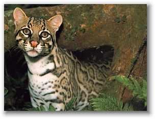 OCELOT: Cat Big, Tigers Cat