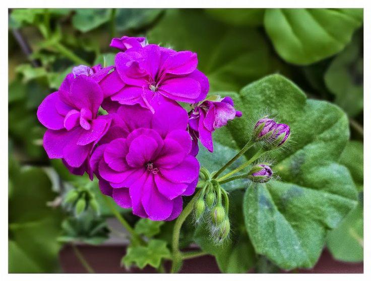 Mevsimlik Çiçek Bakımı: SARDUNYA (Pelargonium) BAKIMI   gülser