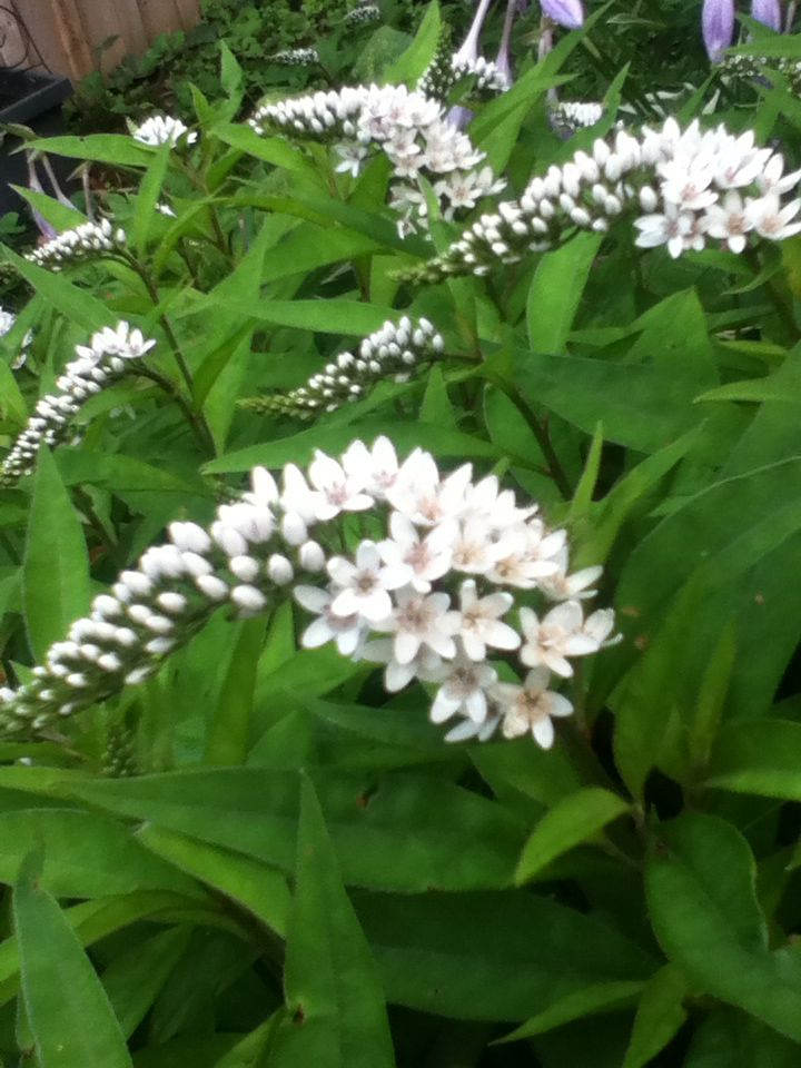 Gooseneck Loosestrife, can get vigorous, loves damp.