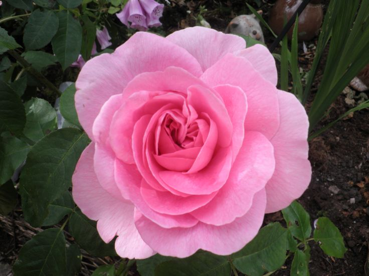 Of all the roses, I think this Gertrude Jekyll is my favourite. It has a perfume that cannot be beaten, and it is such a pretty flower. I look forward to it blooming every year.