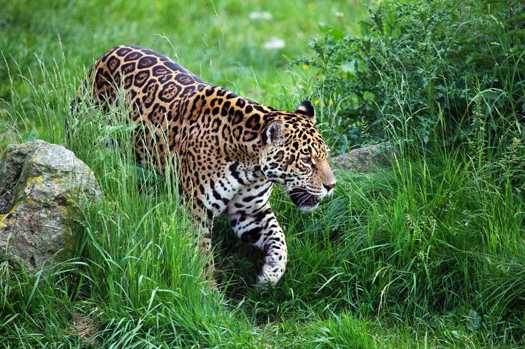 <p>Closing part of the Jaguar's habitat with a wall eliminates any chance of the two male jaguars in Arizona finding a mate, meaning the jaguar population in the U.S. could soon be gone forever.</p>