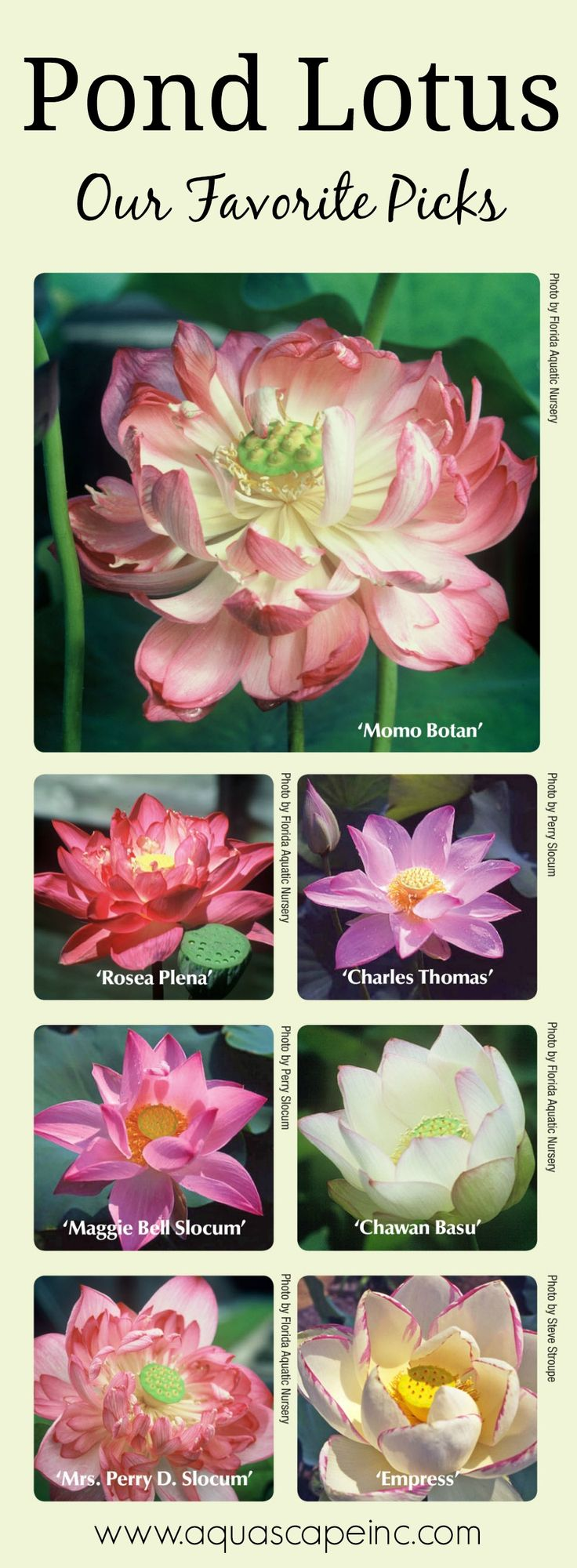 See our list of favorite lotus for your pond or container water garden.