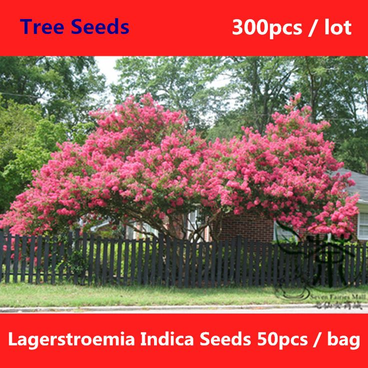 Bright Colors Lagerstroemia Indica Seeds 300pcs, Family Lythraceae Crape Myrtle Tree Seeds, Long Flowering Period Myrtle Seeds