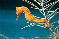 El caballito de mar es un pez pequeño que se moviliza lentamente y se adhiere a los corales blandos mediante su cola.
