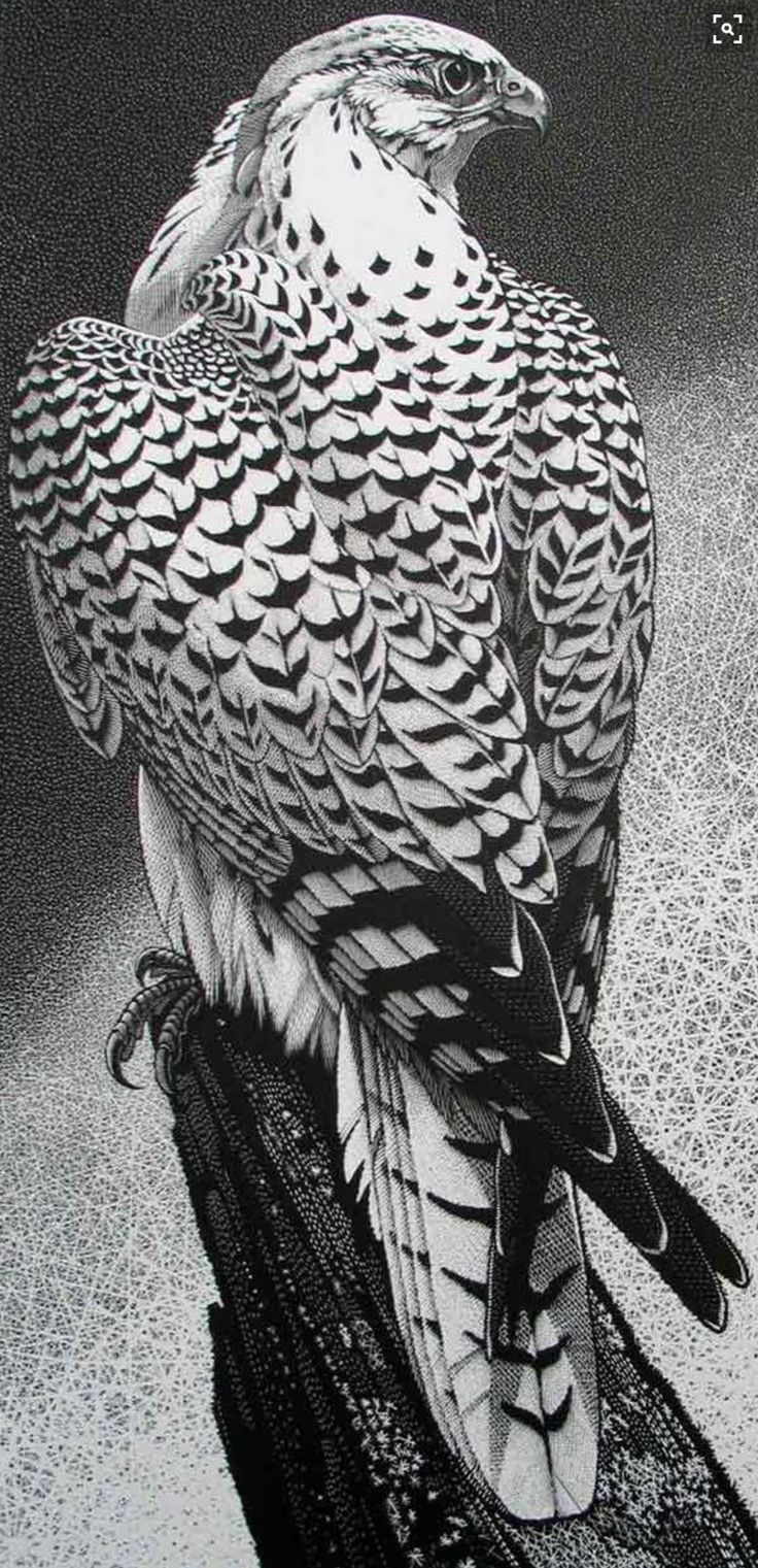 Gyrfalcon by Colin See-Paynton. Wood engraving. Size: 14 x 7 inches in an edition of 100. http://www.see-paynton.co.uk/ Tags: Wood engraving, British Artist, Helen Elstone, Bird of prey, Feathers, Claws, Beak, Eyes, Printmaking, Block Print.